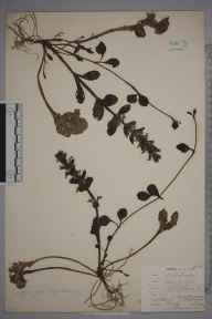 Ajuga reptans herbarium specimen from Crofton, Orpington, VC16 West Kent in 1907 by William Henry Griffin.