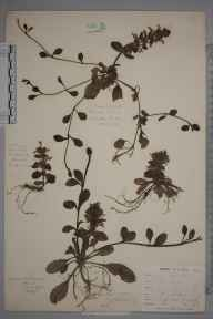 Ajuga reptans herbarium specimen from Kennall Valley, VC1 West Cornwall in 1900 by Mr Frederick Hamilton Davey.
