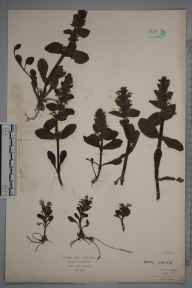 Ajuga reptans herbarium specimen from Studland Common, VC11 South Hampshire in 1928 by Mr Isaac A Helsby.