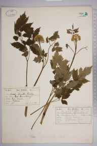 Actaea spicata herbarium specimen from Ottawa, Ontario in 1879 by James Fletcher.
