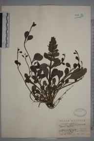 Ajuga reptans herbarium specimen from West Wickham, VC16 West Kent in 1927 by F A Swain.
