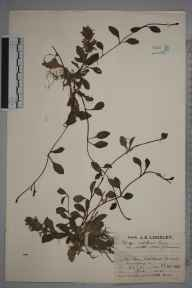 Ajuga reptans herbarium specimen from Ashtead, VC17 Surrey in 1930 by Mr Job Edward Lousley.