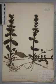 Ajuga reptans herbarium specimen from Golant, Penquite Wood, VC2 East Cornwall in 1901 by Mr Allan Octavian Hume.