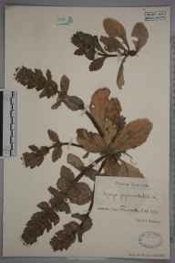 Ajuga pyramidalis herbarium specimen collected in 1928 by G A Ringselle.