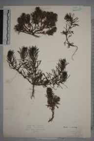 Ajuga chamaepitys herbarium specimen from Kingswood, VC17 Surrey in 1925 by Mr Edward Charles Wallace.