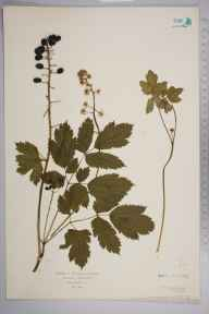 Actaea spicata herbarium specimen from Colt Park Wood, VC64 Mid-west Yorkshire in 1934 by J R W.