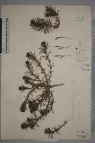 Ajuga chamaepitys herbarium specimen from Croydon, Croham Hurst, VC17 Surrey in 1866 by Mr William Hadden Beeby.