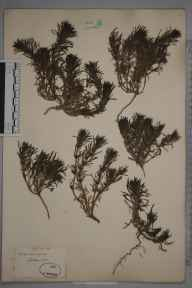 Ajuga chamaepitys herbarium specimen from Cobham, VC17 Surrey in 1852 by Mr Frederick Townsend.
