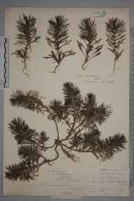 Ajuga chamaepitys herbarium specimen from Chatham, Kent in 1903 by Major  Martin.