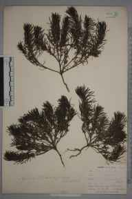 Ajuga chamaepitys herbarium specimen from Croydon, Selsdon Road, VC17 Surrey in 1900 by William Henry Griffin.