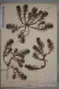 Ajuga chamaepitys herbarium specimen from Cudham, VC16 West Kent in 1902 by William Henry Griffin.