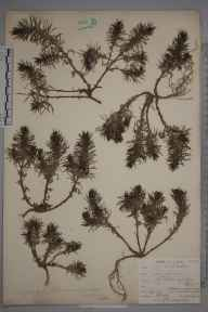 Ajuga chamaepitys herbarium specimen from Farleigh, VC17 Surrey in 1901 by William Henry Griffin.