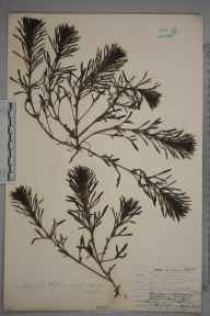 Ajuga chamaepitys herbarium specimen from Norwood, VC17 Surrey in 1907 by William Henry Griffin.