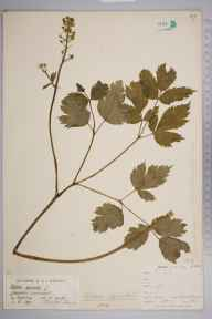 Actaea spicata herbarium specimen from Ingleborough, VC64 Mid-west Yorkshire in 1891 by Rachel Ford Thompson.