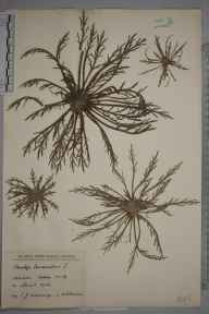 Plantago coronopus herbarium specimen from Mersea, VC19 North Essex in 1926 by Sir Edward James Salisbury.