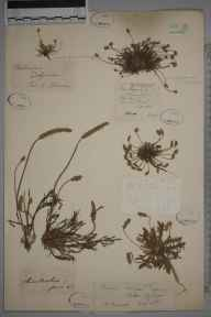 Plantago coronopus herbarium specimen from Hampstead, VC21 Middlesex in 1824 by Daniel Sharpe.
