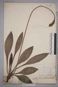 Plantago lanceolata herbarium specimen from Keston, VC16 West Kent by William Henry Griffin.