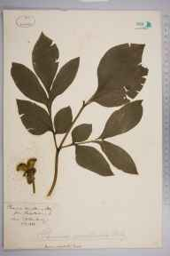 Paeonia mascula herbarium specimen from Steep Holme, VC6 North Somerset in 1889 by Mr Frederick Janson Hanbury.