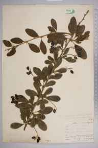 Berberis vulgaris herbarium specimen from Downe, VC16 West Kent in 1902 by William Henry Griffin.