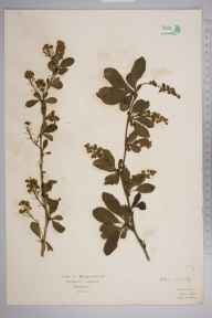 Berberis vulgaris herbarium specimen from Stanmore, VC21 Middlesex in 1922 by Mr Isaac A Helsby.
