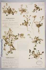 Cochlearia officinalis subsp. scotica herbarium specimen from Port Skerra, VC108 West Sutherland in 1939 by Mr Edward Charles Wallace.
