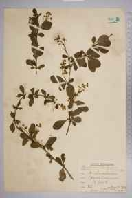 Berberis vulgaris herbarium specimen from Epsom Common, VC17 Surrey in 1939 by Rev. Philip Henry Cooke.
