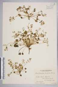 Cochlearia officinalis subsp. scotica herbarium specimen from Little Loch Broom, VC105 West Ross & Cromarty in 1948 by Mr Edward Charles Wallace.