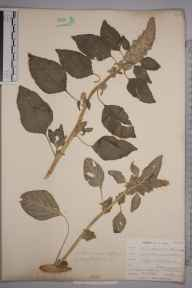 Amaranthus retroflexus herbarium specimen from Saint Mawgan, VC1 West Cornwall in 1901 by Mr Frederick Hamilton Davey.
