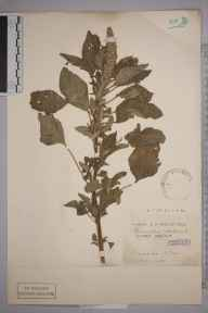 Amaranthus retroflexus herbarium specimen from Tripcock Point, VC16 West Kent in 1900 by Henry Franklin Parsons.