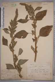 Amaranthus retroflexus herbarium specimen from Richmond, VC17 Surrey in 1878 by Mr George Nicholson.