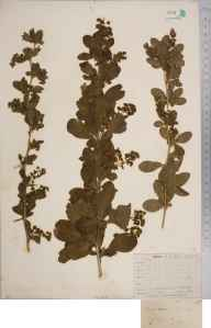 Berberis vulgaris herbarium specimen from Purfleet, VC18 South Essex in 1828 by Joseph Woods.