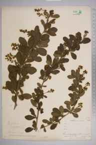 Berberis vulgaris herbarium specimen from Perranwell, VC1 West Cornwall in 1900 by Mr Allan Octavian Hume.