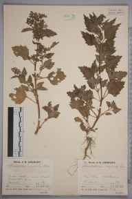 Chenopodium murale herbarium specimen from Littlestone, VC15 East Kent in 1936 by Mr Job Edward Lousley.