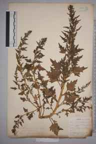 Chenopodium rubrum herbarium specimen from Par Harbour, VC2 East Cornwall by Mr Allan Octavian Hume.