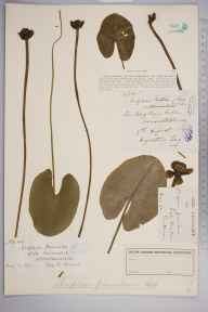 Nuphar pumila herbarium specimen from Loch of Winless, VC109 Caithness in 1886.