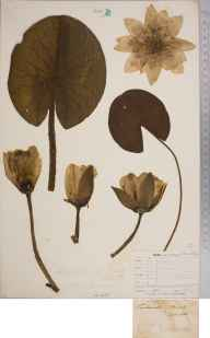 Nymphaea alba herbarium specimen from Lewes, VC14 East Sussex in 1847 by Joseph Woods.