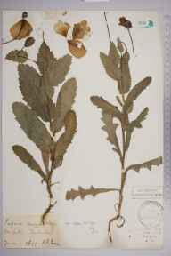 Papaver somniferum herbarium specimen from Coulsdon, VC17 Surrey in 1899 by Henry Franklin Parsons.