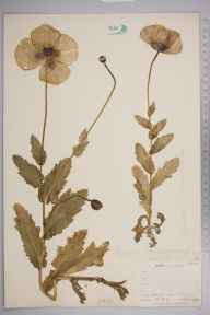 Papaver somniferum herbarium specimen from Keston, VC16 West Kent in 1903 by William Henry Griffin.