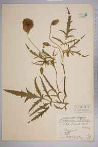 Papaver rhoeas herbarium specimen from Stifford, VC18 South Essex in 1909 by Rev. Philip Henry Cooke.