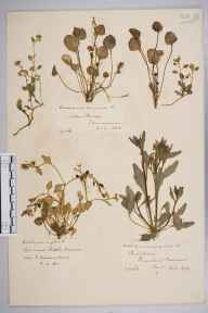 Cochlearia anglica herbarium specimen from Bidston, VC58 Cheshire in 1871 by Mr John Harbord Lewis.