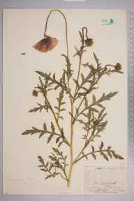 Papaver rhoeas herbarium specimen from Northfleet, VC16 West Kent in 1909 by William Henry Griffin.