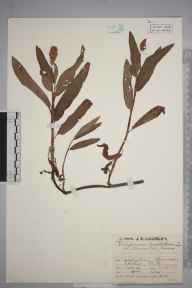 Persicaria amphibia herbarium specimen from Aldenham Reservoir, VC20 Hertfordshire in 1929 by Mr Job Edward Lousley.