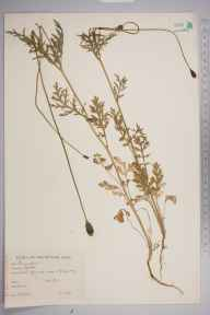 Papaver dubium herbarium specimen from Oxford, VC23 Oxfordshire in 1944 by Charles Edward Hubbard.