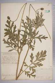 Papaver dubium herbarium specimen from Thurcaston, VC55 Leicestershire in 1902 by Rev. Thomas Arthur Preston.