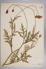 Papaver dubium herbarium specimen from Seaton, VC2 East Cornwall in 1900 by Mr Allan Octavian Hume.