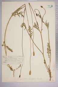 Papaver lecoqii herbarium specimen from Ranmore Common, VC17 Surrey in 1885 by Mr William Hadden Beeby.