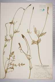 Papaver argemone herbarium specimen from Pingewood, VC22 Berkshire in 1927 by Mr Job Edward Lousley.