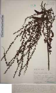 Rumex conglomeratus herbarium specimen from Perranzabuloe,Lambourne Hill, VC1 West Cornwall in 1945 by Mr Francis Rilstone.