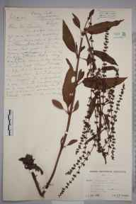 Rumex sanguineus herbarium specimen from Keyhaven, VC11 South Hampshire in 1942 by Lady Joanna Charlotte Davy.