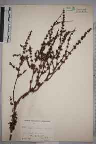 Rumex pulcher herbarium specimen from Corfe Castle, VC9 Dorset in 1943 by Ambrose Ellis Aspinwall Dunston.